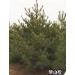 精品华山松大量供应,河南卢氏鑫泽林木种苗有限公司