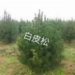精品白皮松大量供应,河南卢氏鑫泽林木种苗有限公司
