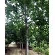 精品七叶树大量供应,河南卢氏鑫泽林木种苗有限公司