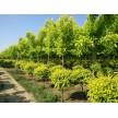 精品金叶复叶槭大量供应,沭阳县华新花木种植专业合作社