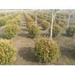 精品瓜子黄杨球大量供应,沭阳县华新花木种植专业合作社