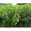 精品海州常山大量供应,沭阳县华新花木种植专业合作社