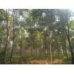 精品七叶树大量供应,沭阳县华新花木种植专业合作社