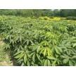 精品七叶树苗大量供应,沭阳县华新花木种植专业合作社