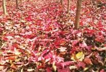 七叶树、茶条槭精品推荐
