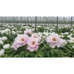 蔷薇生产基地|蔷薇生产厂家|蔷薇生产厂商|青苑供