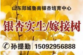 山东郯城鲁南银杏培育中心