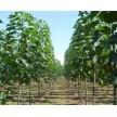 绿化苗木大量供应,周口市楸树研究所苗木基地