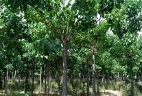 楸树、合欢、白蜡大量精品推荐