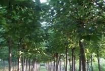 周口市楸树研究所苗木基地