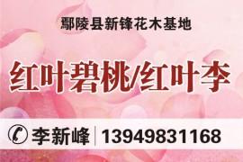 鄢陵县新锋花木基地