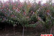 红叶碧桃、红叶李、榆叶梅