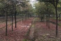 榉树、朴树、红枫、鸡爪槭