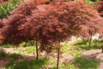 樱花、五针松、羽毛枫、红枫 (8)