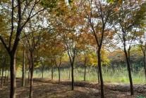 榉树、朴树、皂角、榔榆、乌桕、苦楝