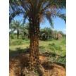 四川中东海枣,杆高4米多少钱,银海枣热带植物,园林绿化工程