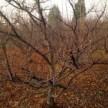 山楂树3-10公分桃树 杏树 梨树 核桃树 柿子树 苹果树