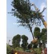 安徽椤木石楠 中华石楠 红叶石楠供应商