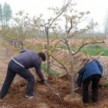 1-10公分山楂树 苹果树 桃树 樱桃树 梨树 柿子树
