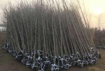 大量供应2-45公分银杏树、嫁接树