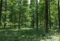 精品水杉、合欢大量供应
