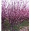 精品榆叶梅供应,盈利园林专业苗木合作社
