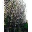 西府海棠(3–15cm 4万棵)供应,瀚宇园林千亩苗圃基地