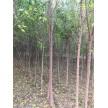 丝棉木(4–8cm20000棵)供应,瀚宇园林千亩苗圃基地