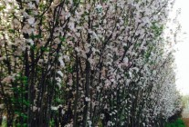 西府海棠、丝棉木、紫叶李精品供应
