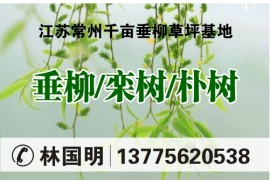 江苏常州千亩垂柳草坪基地