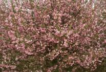 海棠、紫叶李、玉兰、樱花