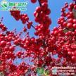 欧美冬青小苗江西绿农常年供应北美东青苗红豆豆