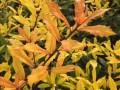 热销新品种彩叶树种黄金枸骨介绍