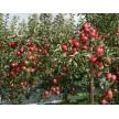烟富8,烟富0苹果苗,烟富3苹果苗,红肉苹果苗,黑苹果苗