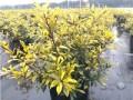 彩叶灌木新品种黄金枸骨在园林中的应用效果