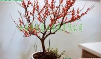 江西切枝观果灌木 北美冬青 欧美冬青 福来红 红果切枝盆栽苗