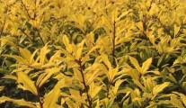 江西彩叶灌木乔木 黄金枸骨 金叶枸骨 常青黄叶彩叶树新品种