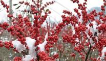 耐寒冬青北美冬青  欧美冬青福来红 红果冬青 观果切枝灌木苗