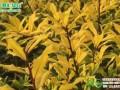 彩叶绿化树新品种黄金枸骨的介壳虫的防治方法