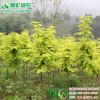 彩叶水杉 金叶水杉 黄金杉 黄金水杉 三季黄叶彩叶树新品种