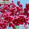 彩叶观花樱花  台湾牡丹樱 大红花樱花 中国红樱花 红叶红花樱花工程树