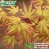 彩叶枫树 速生日本红枫 金桂黄枫 黄金枫 三季黄叶枫树新品种
