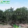 弗吉尼亚栎 北美红栎 常绿栎树新品种 进口红栎树苗