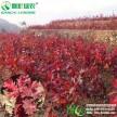 欧洲红栎 北美红栎 进口红栎树苗秋天红叶彩叶新品种常绿栎树