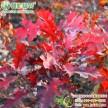 火焰红栎 进口北美红栎 红栎工程树苗 秋天红叶彩叶新品种