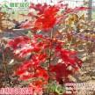 北美红栎 进口欧洲红栎 红栎工程树 秋天红叶彩叶树新品种