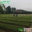常绿彩叶树  状元红桂 八月丹桂金桂 常绿桂花工程树苗