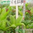 常绿彩叶树 月月红桂 四季红桂 八月丹桂金桂 桂花工程用树苗