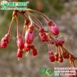中国红樱花  八重红枝垂 美国红花樱花 重瓣晚樱工程树苗