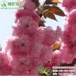 中国红樱花 八重红枝垂 美国红花樱花 红花重瓣晚樱工程树苗